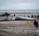 21年ぶりに18メートルのナガスクジラの死骸漂着 ベルギー