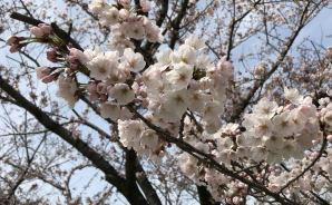 新潟市の桜スポットを