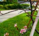 【怪奇】桜が開花