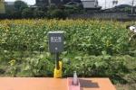 フォトジェニックなとてもたくさんの「ひまわり」が咲く畑が交野に出現してる!!〜その仕掛け人はあそこだ!1本50円で持ち帰りも〜