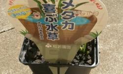 ホームセンターなどで買える「メダカ喜ぶ水草」買ってきた