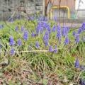 ムスカリ/春の匂い