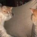 子ネコが母猫に近づいた。ママ、くらえにゃ! → 何度も子猫はこうします…