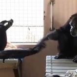 『ずっと手を握り合うチンパンジーたち』の画像