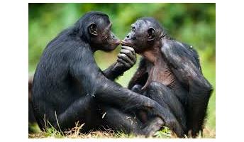 どうして人間に進化しかけている猿人がいないの?
