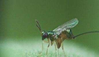 【動物学】金属ドリルで果実に穴をあける寄生バチ