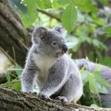 『日本から消えていくコアラ』の画像