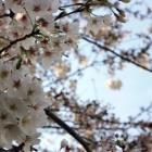 『桜、次々と』の画像