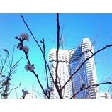 『赤プリと寒桜』の画像