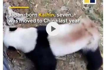 【中国】精神病のパンダが「異常行動してめちゃ面白いよ!」と宣伝され批判殺到