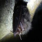 『ウサギコウモリの冬眠』の画像