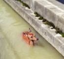 「シカが流されている!」 溺れてみるみる下流に…住民と消防、協力して救助