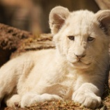『【まるで縫いぐるみ】ふわふわホワイトライオンの赤ちゃん(シンバとナラのお披露目)』の画像