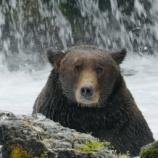 『マタギ「クマが巨大化している」』の画像