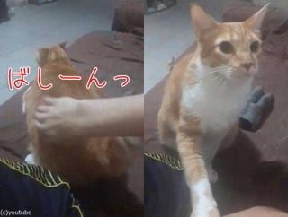 「パシーン!」おしりを強く叩かないと満足してくれない猫(動画)