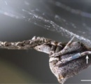 ついに電気を巣に流してビリビリさせるクモが登場 進化論で説明できるのかこれ・・・