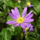 『日本古来の丈夫な植物【ミヤコワスレ(都忘れ)の育て方増やし方】』の画像