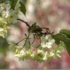 『鬱金桜・普賢象が満開に・・・!』の画像