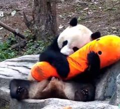 「好き好き!大好きなんだよう!」パンダがニンジンのぬいぐるみに注いだ愛は重たかった