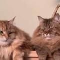 2匹のネコがまったりくつろいでいた。もふもふブラブラ♪ → 並んだ尻尾はこうなります…