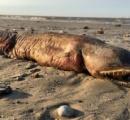 【米国】「これはいったいなに?」 ハリケーン後の海岸で牙の生き物