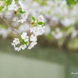 『中島公園のソメイヨシノSomeiyoshino at Nakajima Park.』の画像