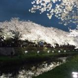 『<3時間限定>明日は夜桜ライトアップです。(白倉より) 』の画像