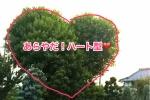 私市にLoveツリーがある!〜私市四丁目、西念寺さんとこの裏手付近の道沿いの木がハート型〜