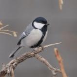 『都会の鳥のテロメアの長さ』の画像