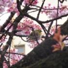 『20150221あたみ桜』の画像