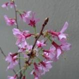 『いよいよ春ですね!!苔盆栽の桜咲く!!』の画像