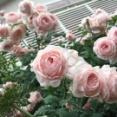 *バラの予約苗が届きました~♪そして植えました♪