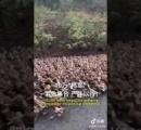 【決戦】バッタ4億匹 VS 中国アヒル部隊10万羽
