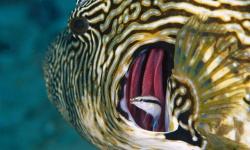 「鏡の中の自分」がわかる魚を初確認、大阪市大