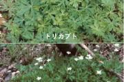 【秋田】おひたしに「トリカブト」家族4人がしびれで入院…知人からもらった山菜のなかに混入か