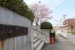 交野市役所の3本の桜が満開でいい感じになってる~それぞれ違うタイプの桜だ!~
