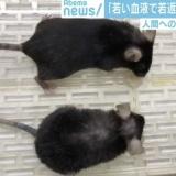 """【朗報】若い血液注入でマウスが""""若返り"""" 人間への応用は「秒読み」とも"""