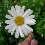 『白い除虫菊は ~天然の蚊取線香の成分 ハーブ』の画像