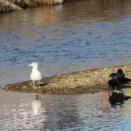 北斗市の河口と海岸で①(カワアイサ・アオサギとダイサギ・ヒドリガモ)