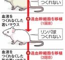 老いた細胞、若いマウス移植後「若返り」 東大など研究