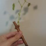 『ぶどうを育ててみるの巻②~鉢に植えるぞ編~』の画像