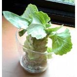 『ズボラな人のための簡単、節約、ベランダ・キッチン菜園』の画像