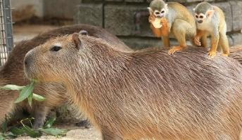 カピバラの背中にリスザルが乗って移動する「カピバラタクシー」が名物に 東武動物公園(画像あり)