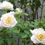 『凛とした白いバラ & 庭にかわいい来客』の画像