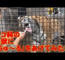 ネコ用おやつ「ちゅ~る」を、ライオンやトラなどネコ科の猛獣にあげてみた