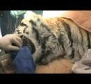 歯痛のトラ、歯根管治療のために歯医者さんのもとに 米インディアナ州 ※動画