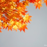 『10年に1度の紅葉Autumn leaves once every 10 years』の画像