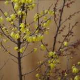 『1月の自宅の花;東大和市』の画像
