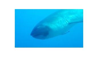 謎のサメ『メガマウス』が泳ぐレア映像が!→
