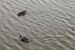 カモって冬によく見かけるなぁと思ったらそれは渡り鳥だから!~交野いきもの図鑑No.11~